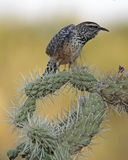 Cactus Wren Royalty Free Stock Images
