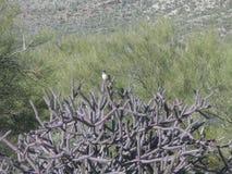 Cactus Wren, Cacti, Mesquite, Sahuaro Stock Photography