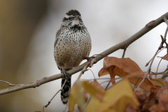 Cactus Wren, Campylorhynchus brunneicapellus Royalty Free Stock Photo