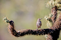 Cactus Wren, Campylorhynchus brunneicapillus. Fledgling Cactus Wren just outside his nest on a cholla cactus in Arizona's Sonoran Desert royalty free stock photography