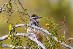 Cactus Wren perched on branch. Holding material in its beak to build nest. Cactus Wren campylorhynchus brunneicapillus perched on branch in Arizona`s Sonoran royalty free stock image