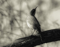 Cactus wren. Enjoying a warm spring day and not at all impressed by the lenses pointed in its direction, this state bird of Arizona has its eye on something else Stock Photos
