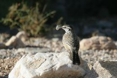 Cactus Wren with feather Royalty Free Stock Photos