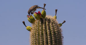Cactus Wren Feeding On Saguaro Royalty Free Stock Image
