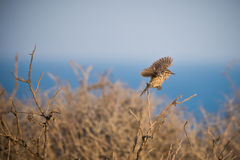 Cactus wren flying off of branch with ocean in the background. Cactus wren flying off a branch with the sea in the background, action shot Stock Image