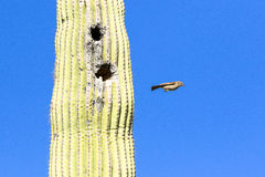 Cactus wren flying out of cactus Royalty Free Stock Photo