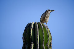 Cactus wren with moth in beak. Cactus wren with moth in mouth on top of saguaro cactus stock image