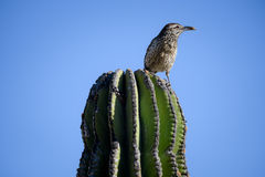 Cactus wren on saguaro cactus with moth in beak. Cactus wren on saguaro cactus with moth in his beak in san jose del cabo, mexico Royalty Free Stock Images