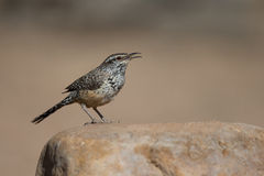 Cactus Wren singing Stock Photos