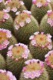 Cactus y cactus de la flor fotos de archivo libres de regalías