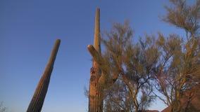 Cactus y cepillo altos del Saguaro almacen de metraje de vídeo