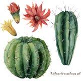 Cactus y flores de la acuarela fijados Grusonii pintado a mano del cirio y del echinocactus con la flor roja y amarilla aislada Fotos de archivo
