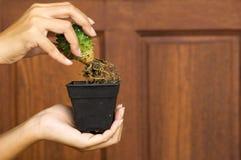 Cactus y raíz en mano de la mujer con el fondo de madera Foto de archivo