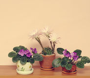 Cactus y senpolia florecientes en potes en estante Imagenes de archivo