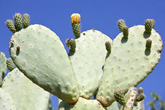 Cactus with yellow cactus flower. Royalty Free Stock Photography