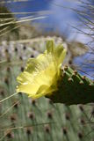 Cactus with Yellow Flower Royalty Free Stock Images