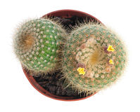 Cactus with yellow flowers Royalty Free Stock Images