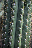 Cactus with yellow prickles Royalty Free Stock Photography
