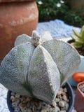 Cactus zoals een starfruit royalty-vrije stock foto's