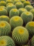 Cactus6 Stock Fotografie