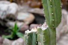 Cactusachtergrond royalty-vrije stock foto's