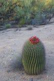 Cactusbloei Royalty-vrije Stock Fotografie