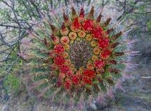 Cactusbloei Royalty-vrije Stock Afbeeldingen