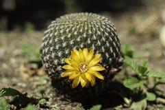 Cactusbloei Stock Afbeeldingen