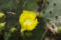 Cactusbloem Stock Afbeelding