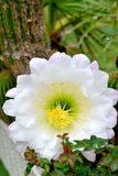 Cactusbloem het bloeien Royalty-vrije Stock Foto's
