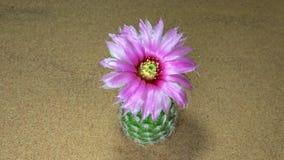 Cactusbloem het bloeien stock videobeelden