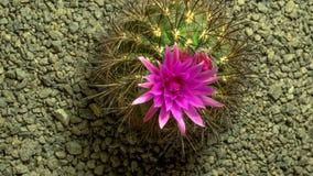 Cactusbloem het bloeien stock video