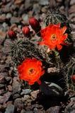 Cactusbloemen Stock Afbeelding
