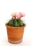 Cactusbloemen Royalty-vrije Stock Foto