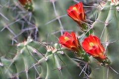 Cactusbloemen Royalty-vrije Stock Foto's