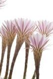 Cactusbloemen Royalty-vrije Stock Afbeeldingen