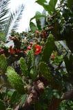 Cactusbloemen Royalty-vrije Stock Afbeelding