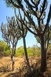 Cactusbomen in het landschap van Afrika Stock Foto