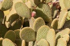 Cactusboom bij de zomer Stock Foto
