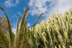 Cactusboom bij de zomer Stock Fotografie