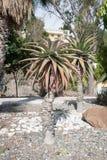 Cactusboom bij de zomer Stock Afbeeldingen