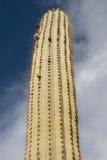 Cactusboom bij de zomer Stock Foto's