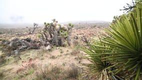 Cactusboom in woestijn stock video