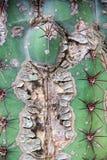 Cactusboomstam Royalty-vrije Stock Fotografie
