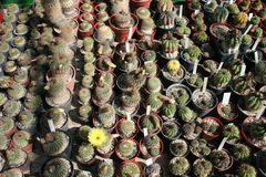 Cactuses Royalty Free Stock Photos