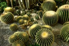 Cactuses. Various cactuses are in great numbers in a garden stock images