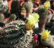 Cactuses Stock Photos
