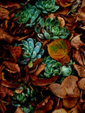 Cactuses with autumn leaves Royalty Free Stock Photo