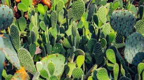 Cactuses background. Close up view Stock Photos