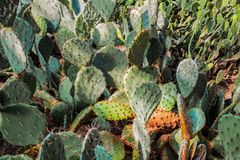 Cactuses background. Close up view Royalty Free Stock Photos
